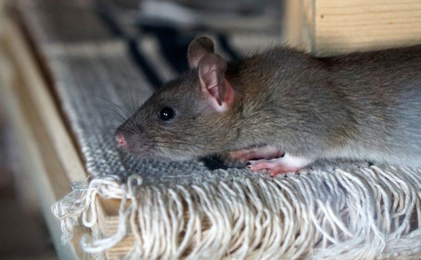 comment s'en débarrasser des rats